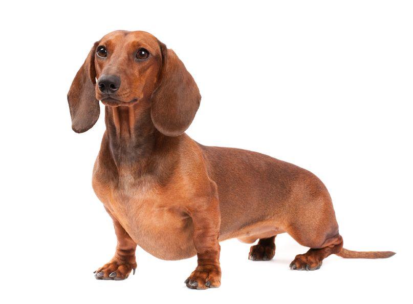 9419945 - short haired dachshund dog isolated over white background
